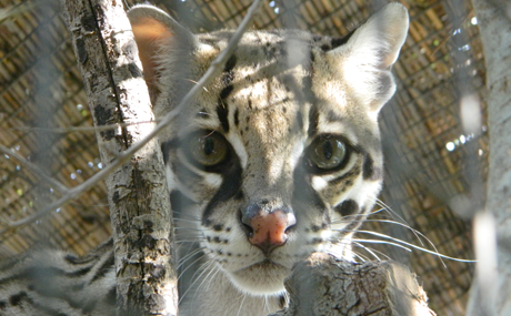 Desmond the Ocelot