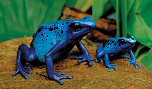 a blue frog