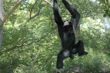 Oscar, the Siamang gibbon, and his brother, Arthur, are the most vocal residents of the Greenville Z