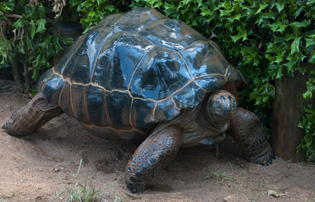 Bubba, an Aldabra tortoise, is considerably larger than his female companions.