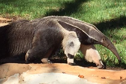 photo of giant anteater walking in his exhibit